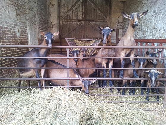Chèvres de Chauvry