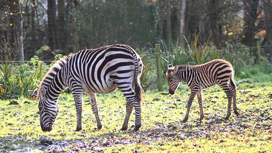 bebe zebre cerza