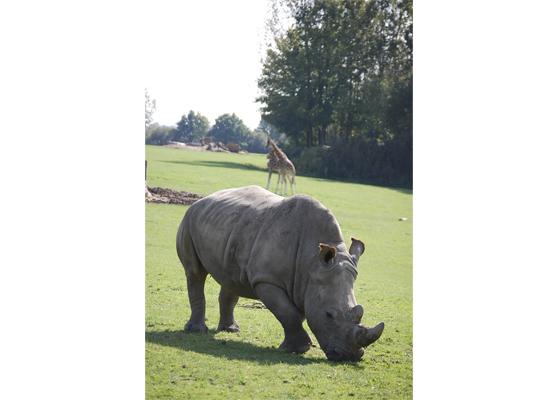rhino cerza